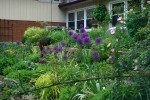 West bed with alliums summer 2008