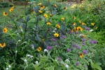 Helianthus and friends summer 2008